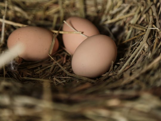 Eggs from Plymouth Barred Rock hens are seen in a coop