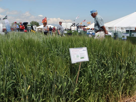 John Robley, of Manitowoc, looks over rye grass outside the UW-Extension tent during Farm Technology Days on July 12, 2017.