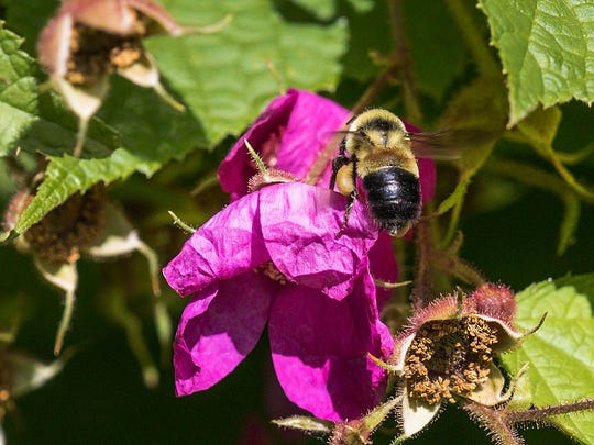 The rusty-patched bumble bee (Bombus affinis) flies between flowers at the UW-Madison Arboretum in Madison, WI.