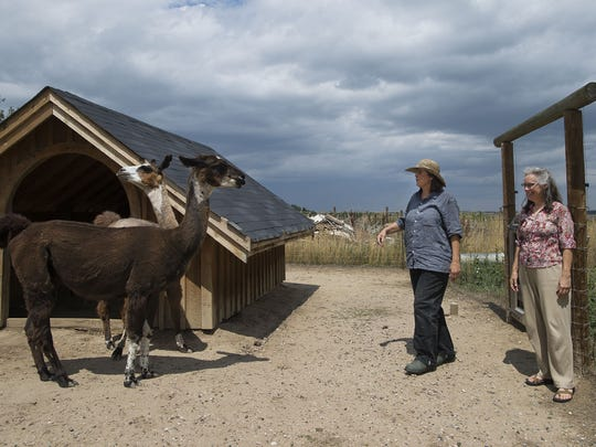 Tanja Andreas, left, and her neighbor Nancy Eason approach a few of Andreas' docile llamas, Thursday, August 10, 2017, at Andreas' Bonnie Farm just south of the Richard's Lake neighborhood in Fort Collins.