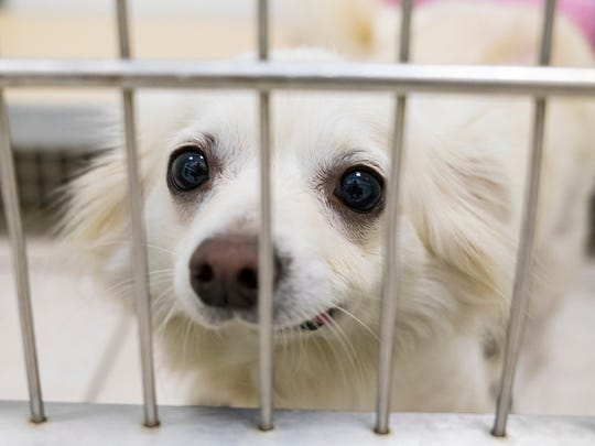 Angel, a 5-year-old pomeranian at the St. Clair County Animal Control adoption center. On Oct. 14, the shelter is participating in the Empty the Shelters campaign and will be offering pet adoptions free of charge.