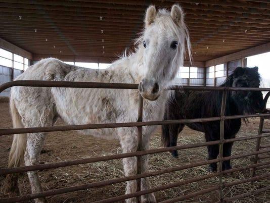 636464477497192565-Mini-Horses-04.jpg