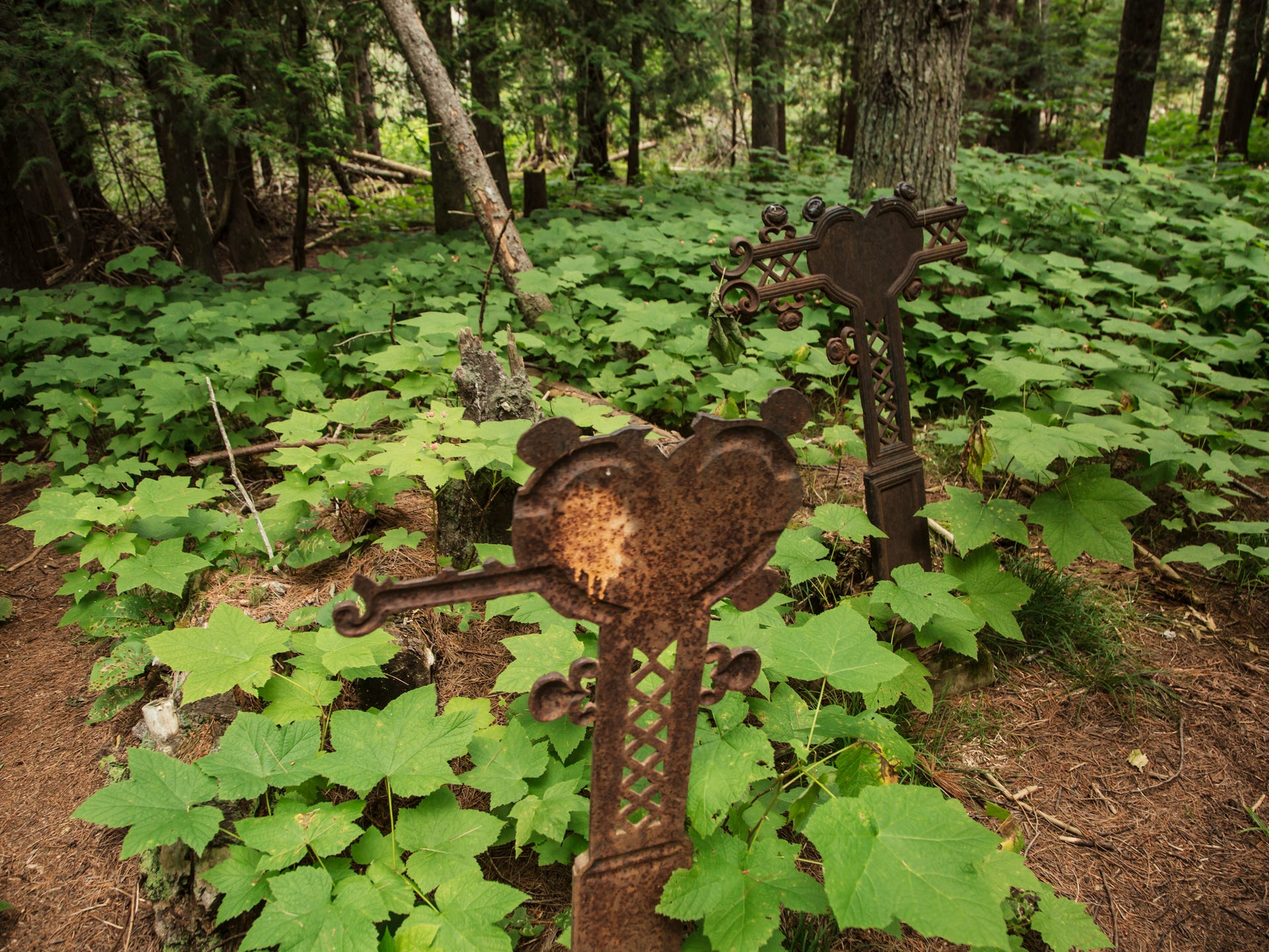 Iron tombstones rise above thimbleberry plants inside