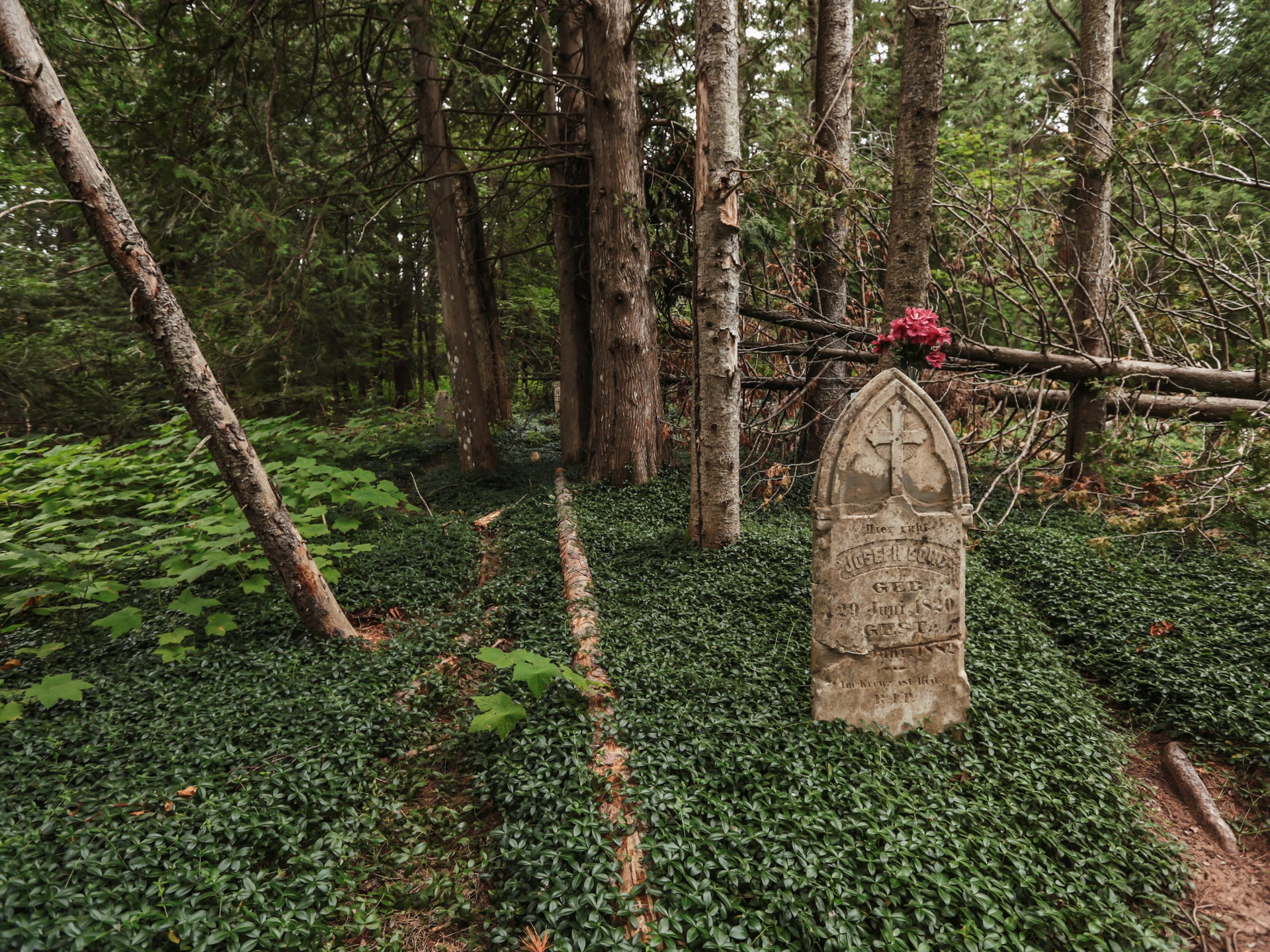 A tombstone rises above myrtle growing in the forest