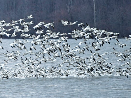 About 20,000 Snow Geese at Middle Creek Wildlife Management Area take flight at dawn on Friday, March 9, 2018. Lauren Fenstermacher, Middle Creek manager, said the area hit a peak number of snow geese this year at 200,000.