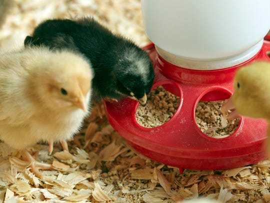 Baby chicks require 38 different nutrients to start