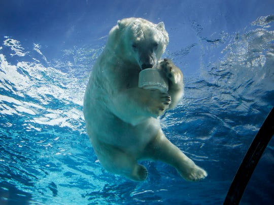 A polar bear at the Detroit Zoo in Royal Oak enjoys