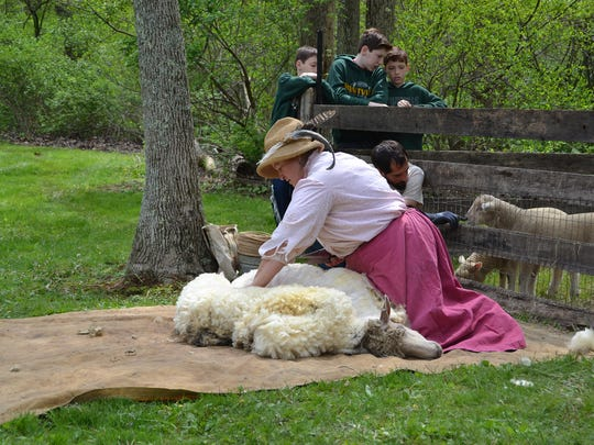 """Margaret Quinn, one of the volunteers for the 2016 """"Born to be Shorn"""" event at Chester Township's Cooper Gristmill, shearing the sheep during that event."""