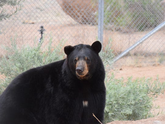 Brock, one of the five bears, settles down in the Keepers of the Wild sanctuary.