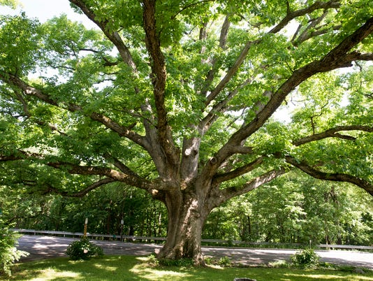 The Temple tree, a 400-year-old chinquapin oak on property owned by Jason Weaver, who's involved with preserving Indy green spaces