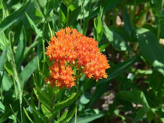 636644139484027102-butterfly-milkweed-in-prairie.jpg