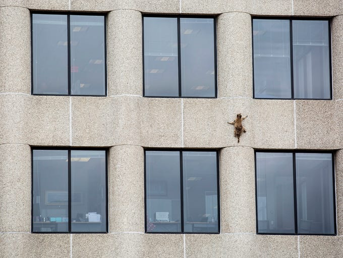 A raccoon scurries up the side of the UBS Tower in