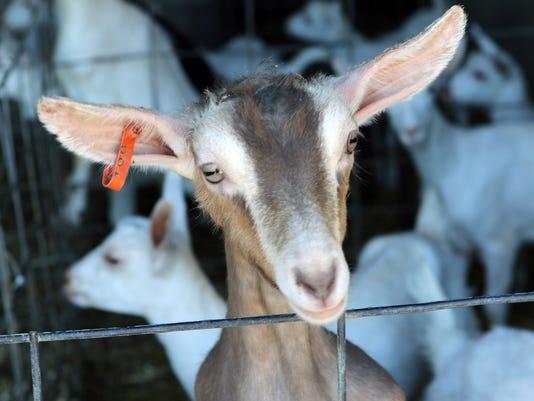 WSF 0622 O Dools goats 4