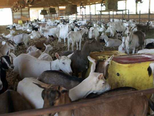 About 400 goats are milked at O'Dools Dairy Goats in
