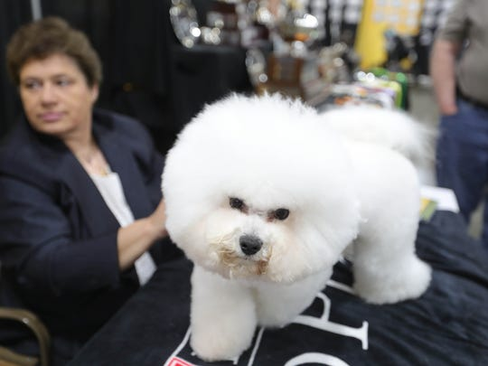Flynn a bichon frise' winner of the Westminster 2018 Best In Show was a special guest at the Detroit Kennel Club Dog Show held at the Surburban Collection Showplace in Novi, Mich. Sunday, June 24, 2018.