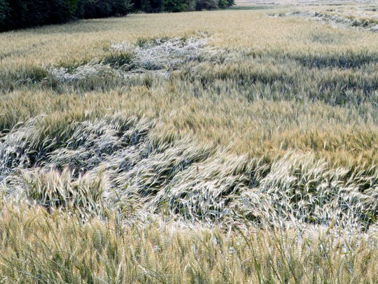 Winter wheat, starting to turn, shows evidence of storms
