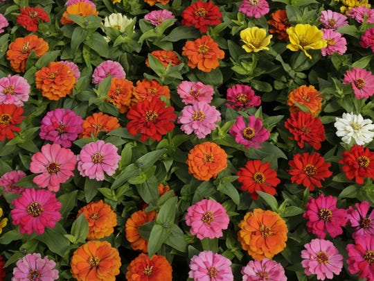 Flats of Zinnia await purchase.