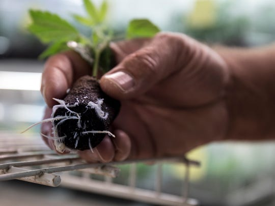 Andy Williams, Co-Founder & CEO at Medicine Man checks the root systems of seedlings at corporate headquarters in Denver.