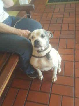 This bulldog, named Phantom, had to be euthanized earlier this week after she was beaten by an Ocala man.