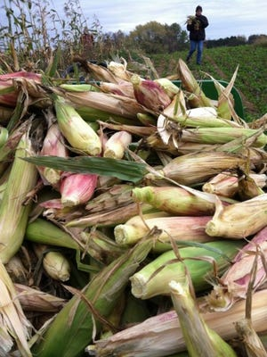 Close-up harvested corn