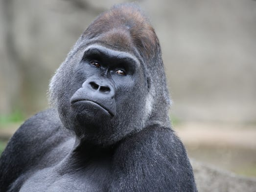 Jomo is a silverback, western lowland gorilla at the