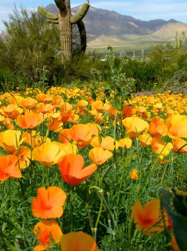 Picacho Peak State Park has been having one of their colorful wildflower seasons, with lots of poppies that began blooming in February.
