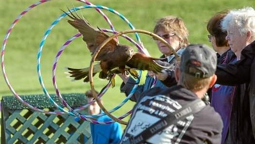 One of Baywings Falconry birds of prey flies through hoops during a demonstration. The group will be at Earth Day on Saturday.