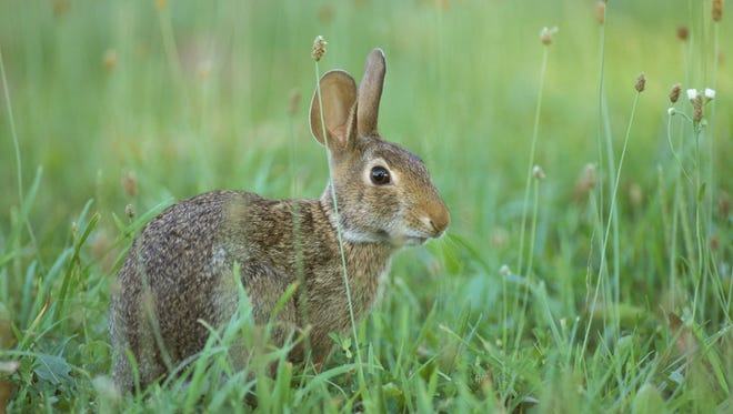 Eastern cottontail rabit