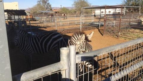 A zebra found by authorities Monday, Jan. 5, 2015, at a property in north Phoenix near 27th Avenue and Desert Hills Drive.