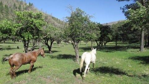 The horses head to the orchard near Bonito Lake.