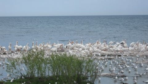 American white pelicans are shown at Sheboygan's North Point in large number. When fall arrives, the birds will head south to the waters of the Gulf of Mexico.