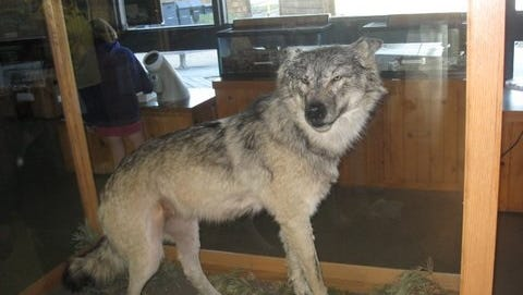 The wolf shown on display is from the Florence County Information and Recreational building. Wisconsin's wolf population for 2016-2017 is listed at 925 animals and includes 232 packs.