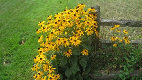 Fall flowers, like the black eyed susan, are breathtaking and brighten our split log fence in the corner of our yard.