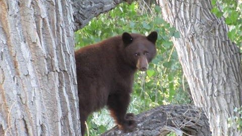 A bear, not the one pictured here, reportedly attacked a man near Red Feather Lakes Tuesday night.