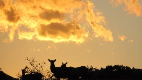 Stragglers from a herd of elk are silhouetted against a sunset in Lincoln County.