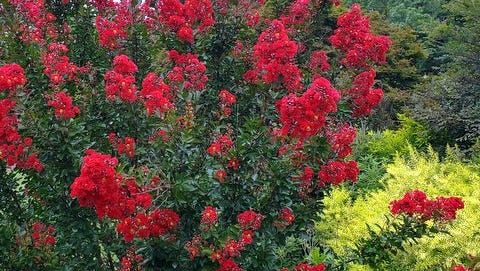Meet Red Rooster crapemyrtle at this horticulture field day.