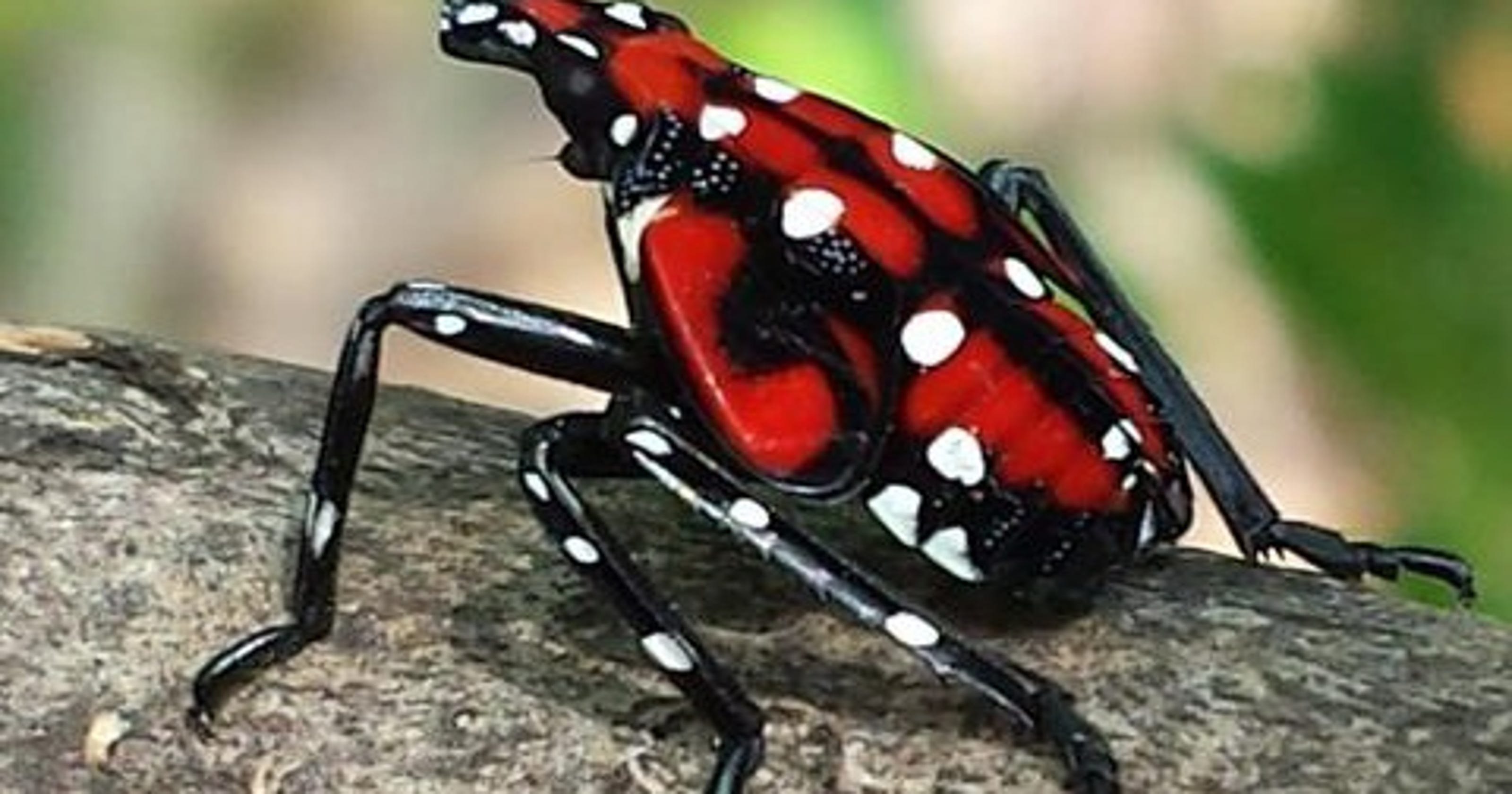 Bugs In Christmas Trees.Spotted Lanternfly Infests Christmas Trees And Could Lay