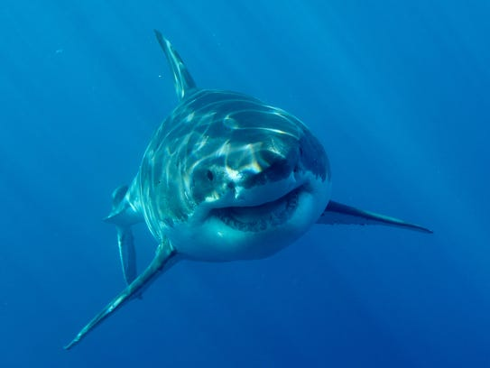 A massive female Great White Shark gets ready for Discovery's