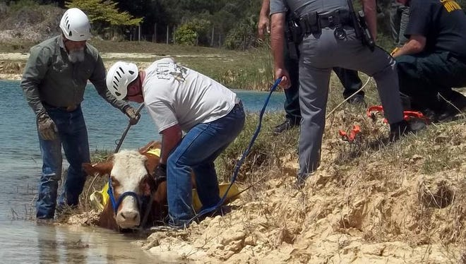 On Friday, May 16, the Collier County Sheriff'??s Office received a call from a citizen regarding a cow that was stuck in the mud. The CCSO Agriculture Bureau activated the Region 6 Technical Large Animal Emergency Rescue Team (T.L.A.E.R) and members from the Collier County Sheriff'??s Office Agriculture Bureau and District Four Road Patrol Deputies, Lee County Sheriff's Office Agricultural Crimes Unit, The Hendry County Sheriff's Office Agricultural Patrol, and the Big Corkscrew Island Fire Department responded.