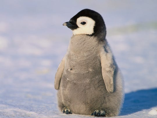 This is not Tango, but a cute baby Emperor Penguin.