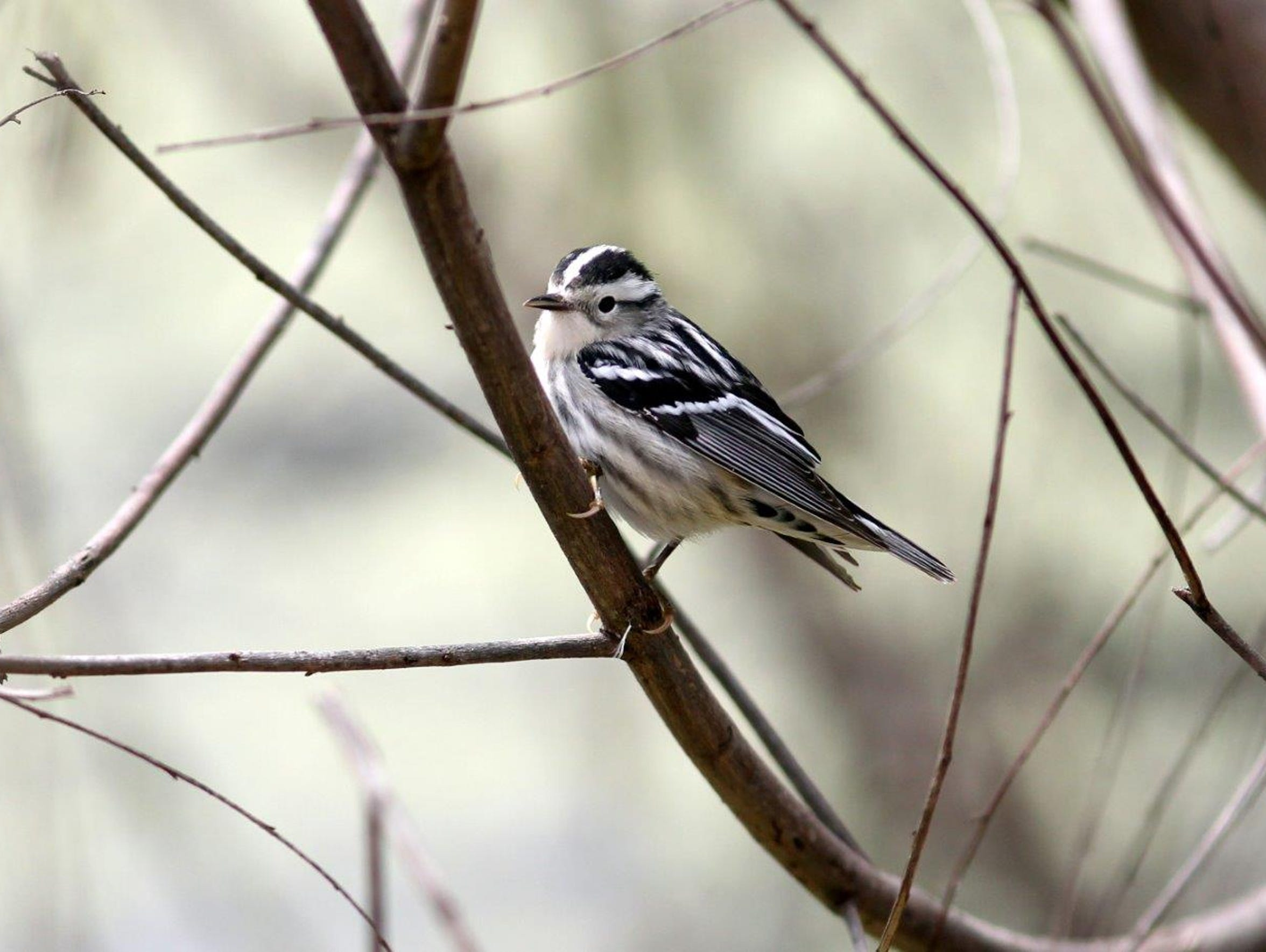 This female Black and White Warbler was shot at Joan