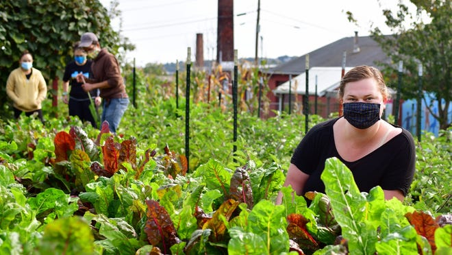 Grace Sliwoski, REC Director of Programs in rows of Swiss chard at the farm on Oread Street. In the background, farm manager TomTrepanier directs United Way volunteers from Luk Inc., on a harvest.