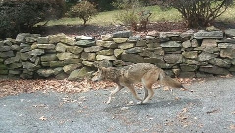 A coyote was captured and killed in Dunwoodie Golf Course in Yonkers. A second remains at large.