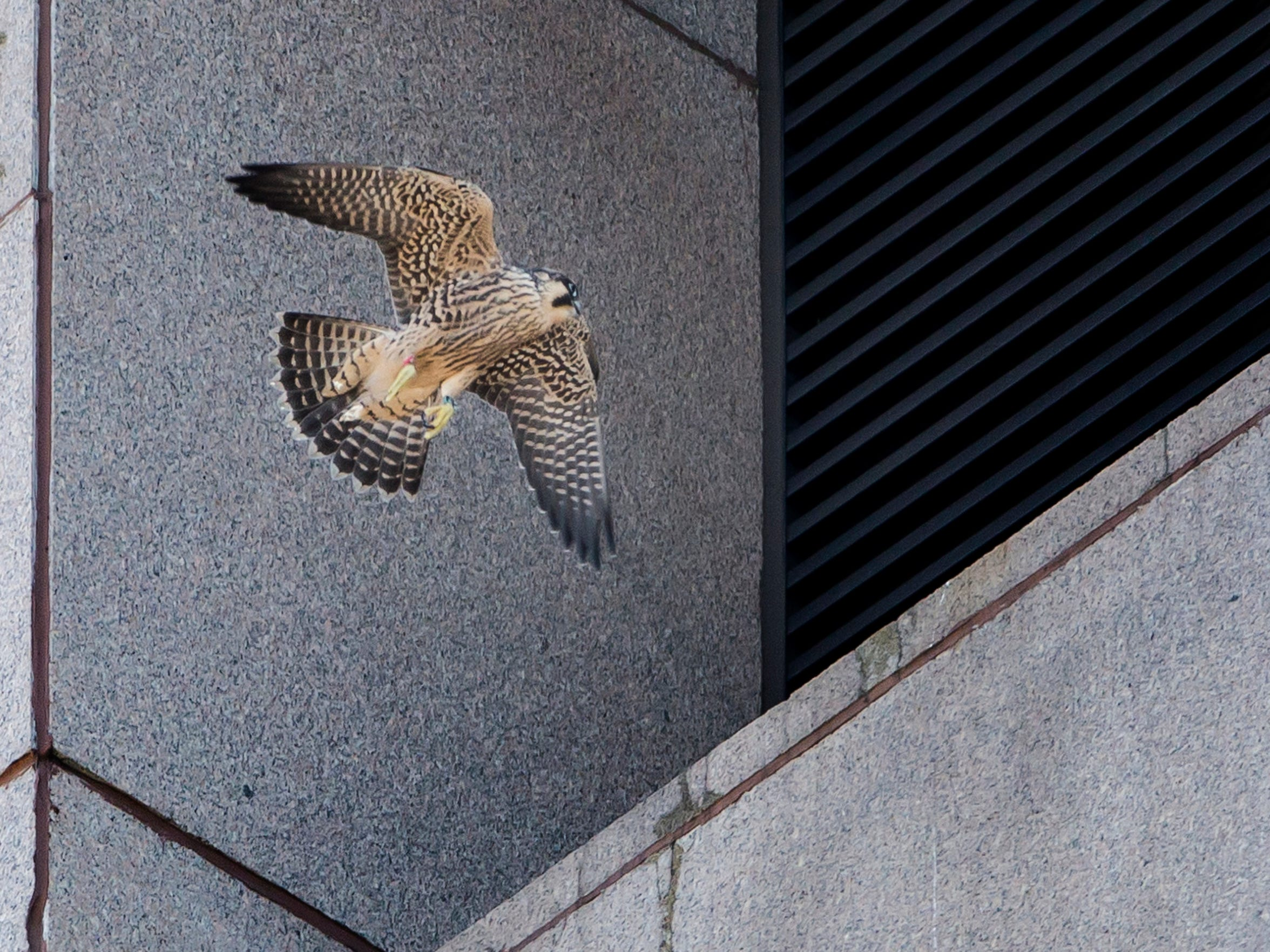 A Peregrin falcon lands on the ledge along the top floor of the Citi building in Downtown Wilmington on Thursday afternoon.