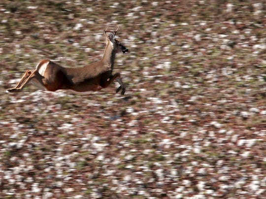 A deer runs through cotton fields at the site of the incomplete Memphis Regional Megasite. In Collierville this year, deer are overrunning neighborhoods and wrecking cars, possibly due to the city's expansion leaving them with fewer options.