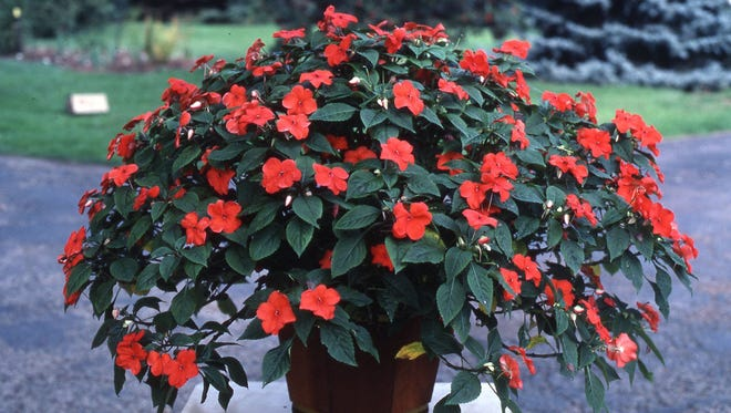 The larger the container, the greater color attraction for shade impatiens. These red impatiens had nonstop color form June into September.