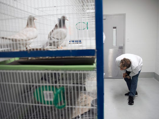 Dr. Gerald Hough checks on his pigeons Friday, April 6, 2018 at Rowan University in Glassboro, N.J.
