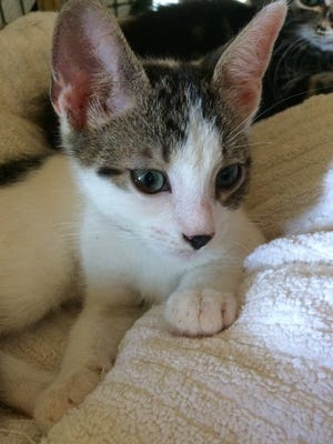 I'm a very sweet tabby and white boy, about 10 weeks old, and a true survivor!