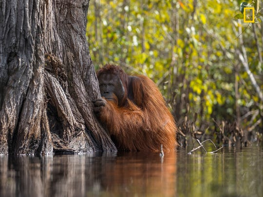While Looking For Wild Orangutans In Tanjung Putting National Park Indonesia We Witnessed