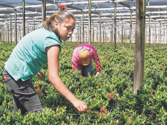 Lupita Mumgia, left, weeds Ixora potted plants at Delray Plants. Will her company need workers to be weeding weed next?